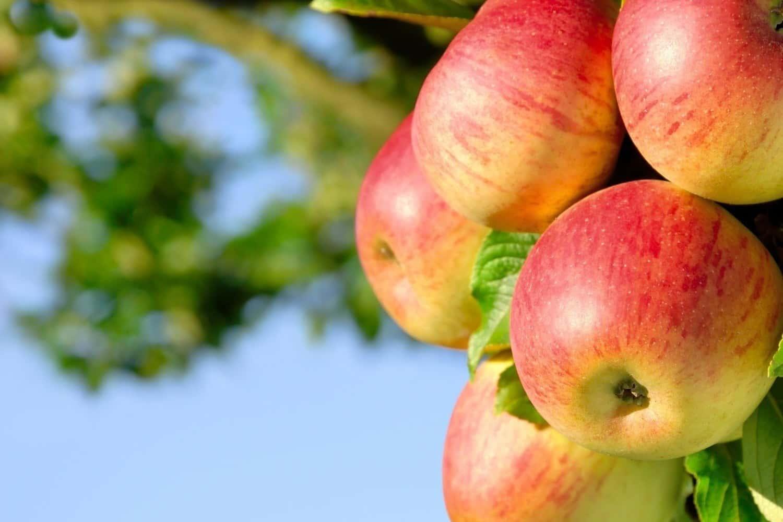 Более 16 000 тонн яблок в год