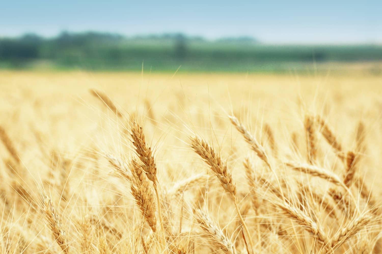 Более 500 000 тонн пшеницы в год